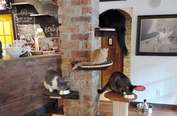 Cats eating dinner at Montreal's Café Chat L'Heureux