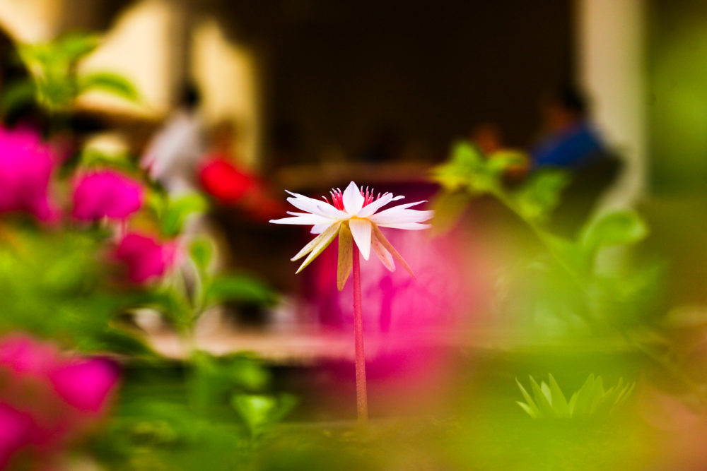 Velas Resorts lotus flower