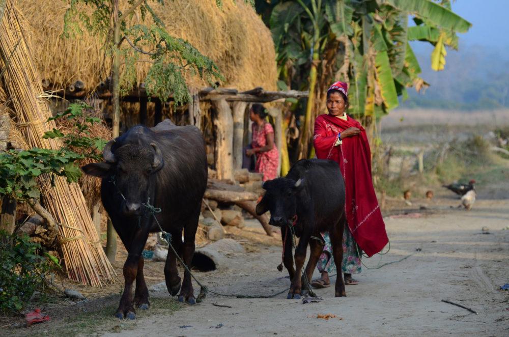 Nepal Chitwan buffalo