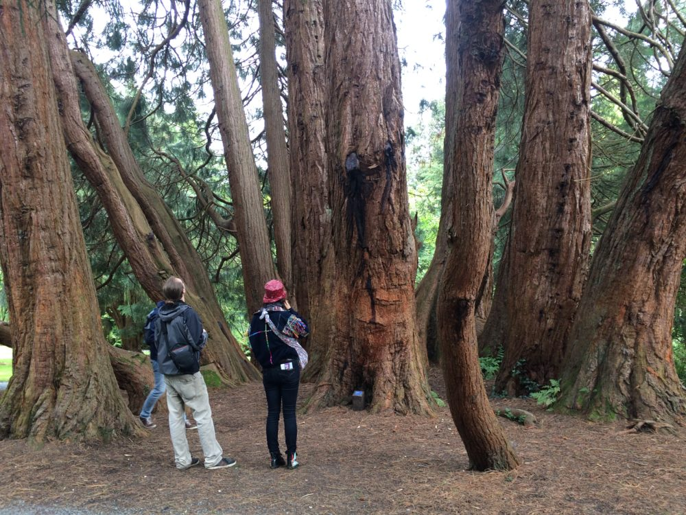Northern Ireland Castlewellan redwood tree