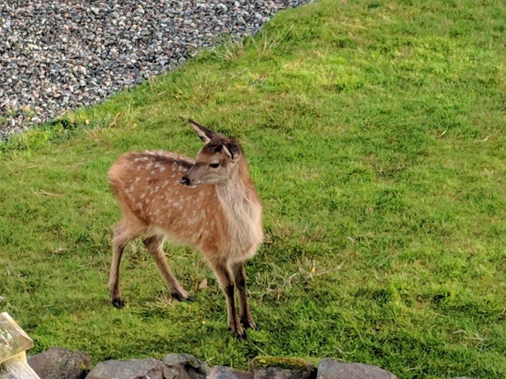 Loch Maree deer, Scotland