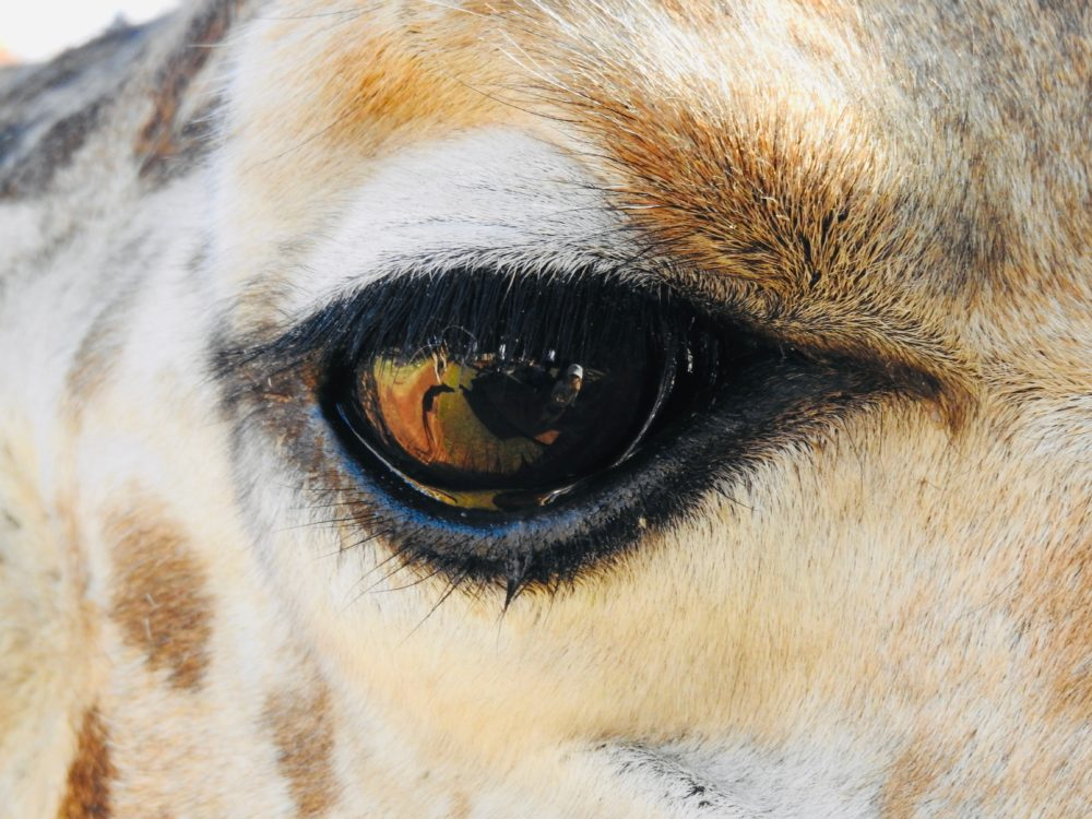 Giraffe eye, Giraffe Manor in Kenya