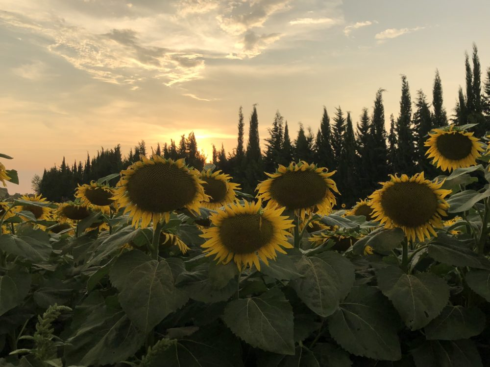 France sunflowers