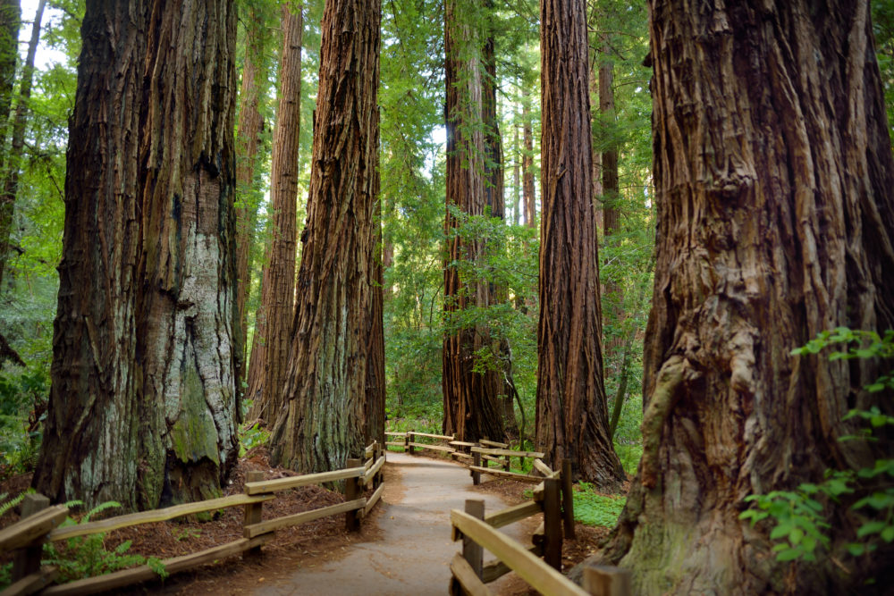 Hiking trails through giant redwoods in Muir Woods near San Francisco