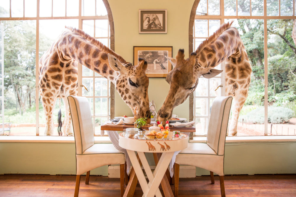 Giraffes eating breakfast at Giraffe Manor in Kenya