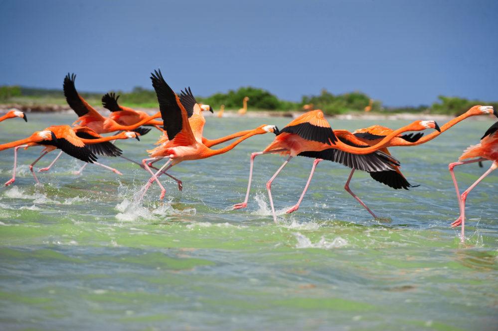 Yucatan flamingos