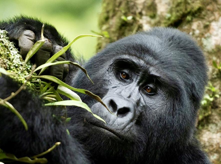 Silverback gorilla of Uganda