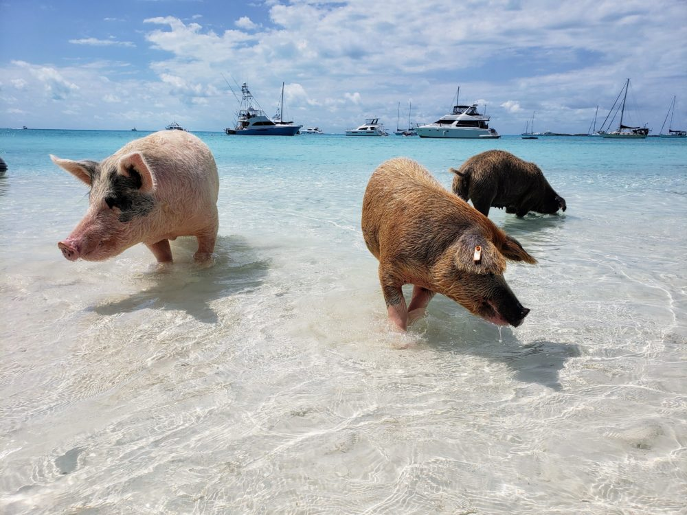 Staniel Cay swimming pigs