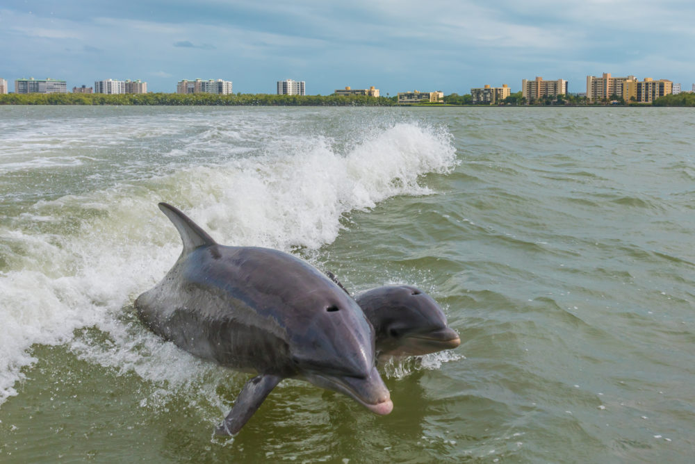 Dolphins Fort Myers beach