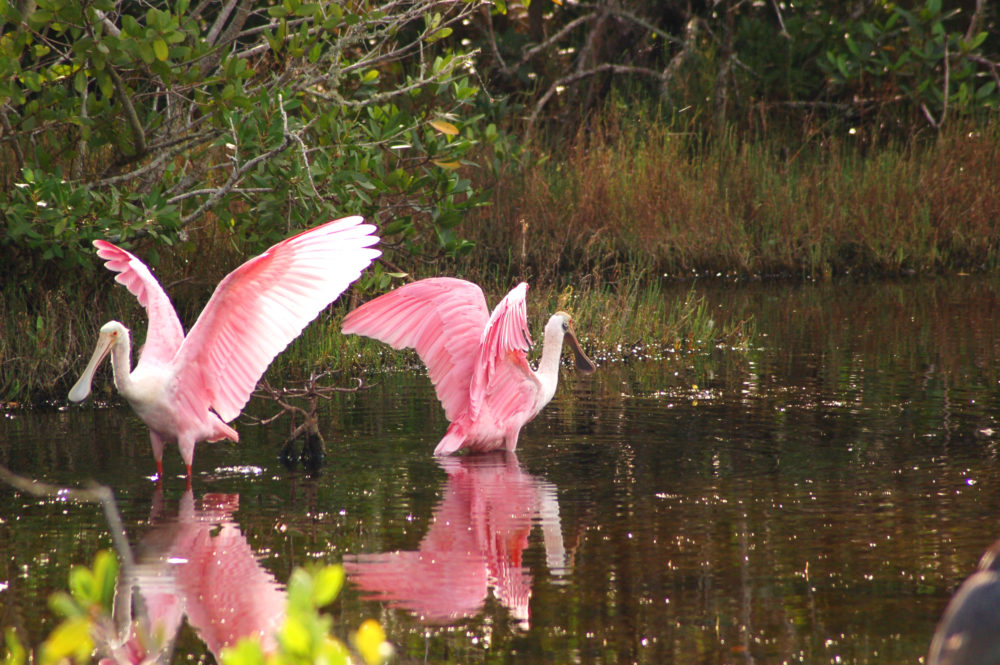 Fort Myers & Sanibel spoonbill