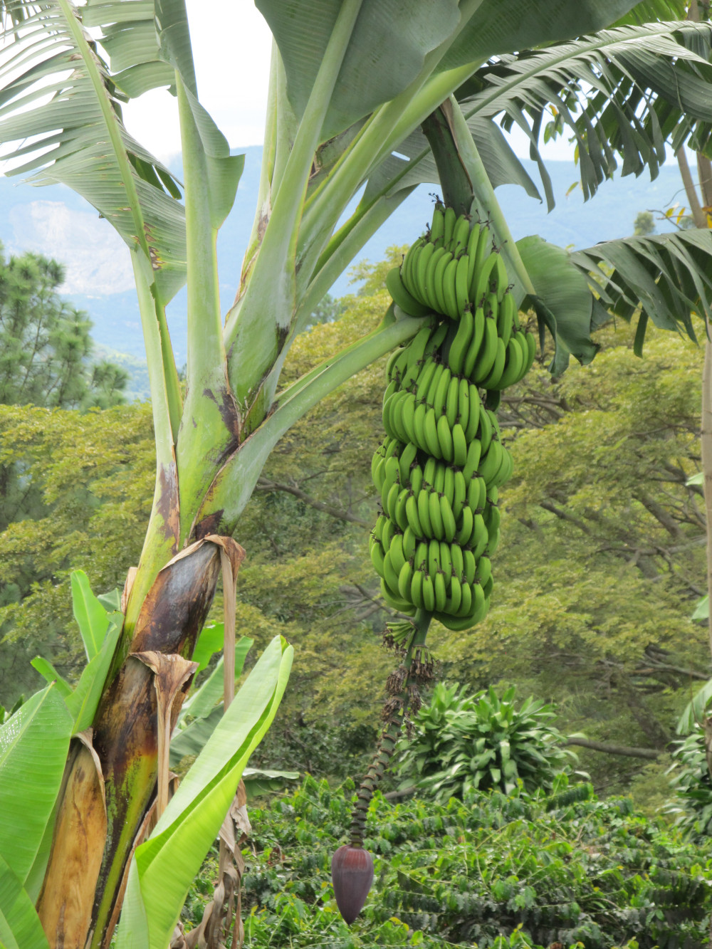 banana tree on trail Jamaica Blue Mountains